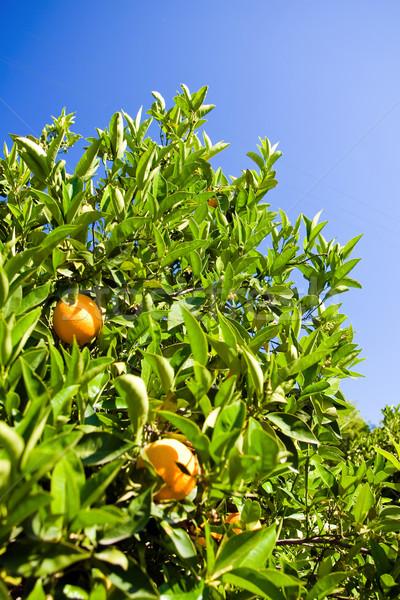 Narancsfa érett narancsok ág természet gyümölcs Stock fotó © timbrk