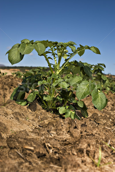 One potato plant against blue sky Stock photo © tish1