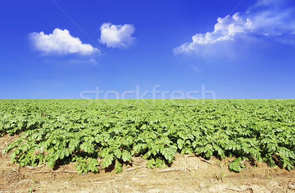 Potato field against blue sky and clouds Stock photo © tish1