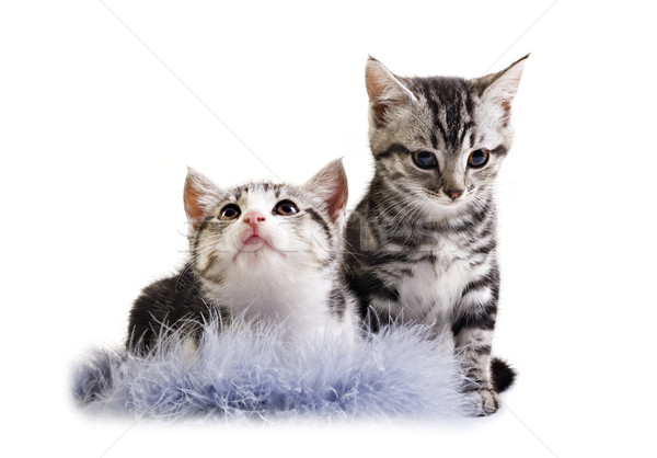 Adorable little kittens from the same litter Stock photo © tish1