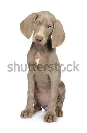 Stock photo: Full length photo of a young Weimaraner dog