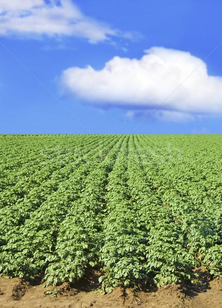 Patates alan mavi gökyüzü bulutlar manzara Stok fotoğraf © tish1