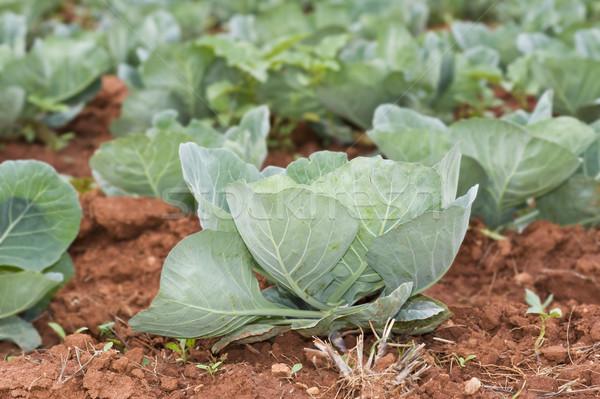 Sağlıklı genç lahana alan manzara Stok fotoğraf © tish1