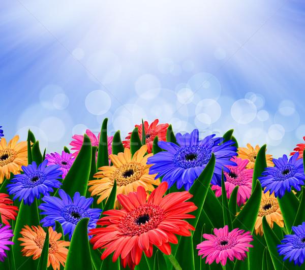 Colorido Daisy flores campo primavera feliz Foto stock © tish1