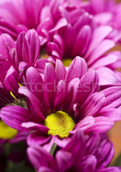 Diep roze chrysant bloemen ondiep veld Stockfoto © tish1