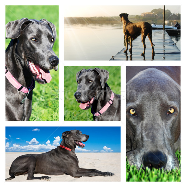 Collage of photos of a great dane dog Stock photo © tish1