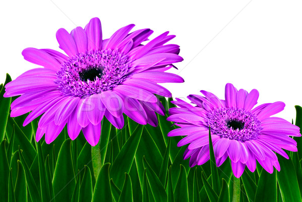 Colorful daisy gerbera flowers in a field - spring background Stock photo © tish1