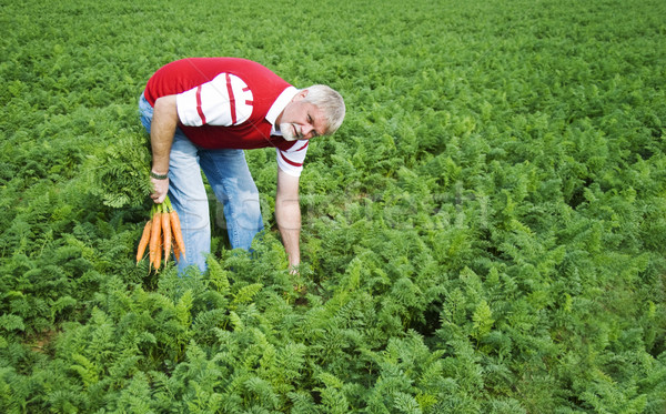 Carrot farmer in a carrot field on a farm Stock photo © tish1