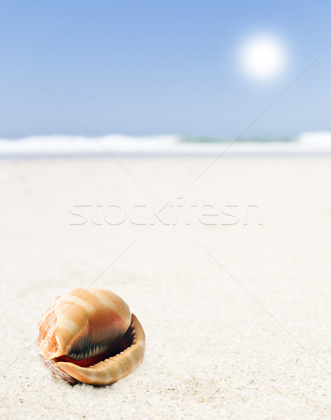 a Beautiful perfectly shaped sea shell on the sandy beach Stock photo © tish1