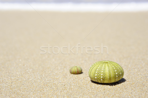 Beach scene with two dead sea urchin shells Stock photo © tish1