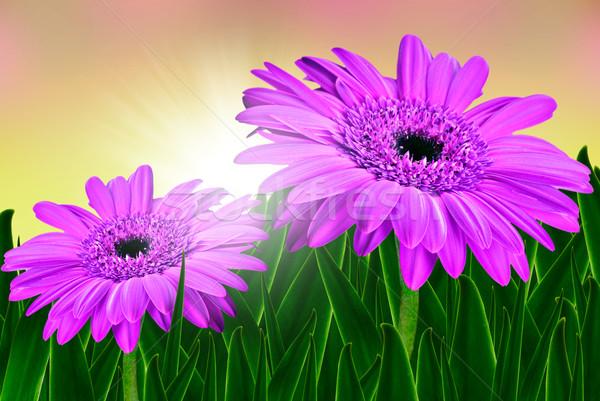 Deux belle rose marguerites soleil sunrise Photo stock © tish1