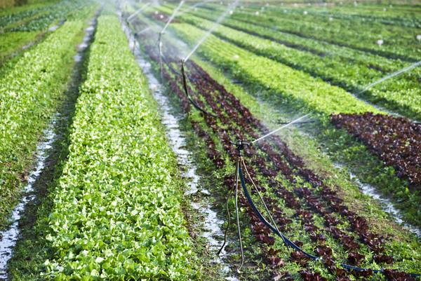 Orgânico alface campo textura primavera comida Foto stock © tish1