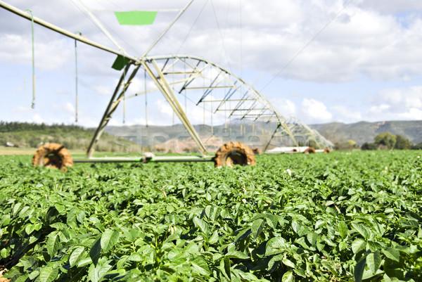Campo de trigo blue sky orgânico céu natureza folha Foto stock © tish1