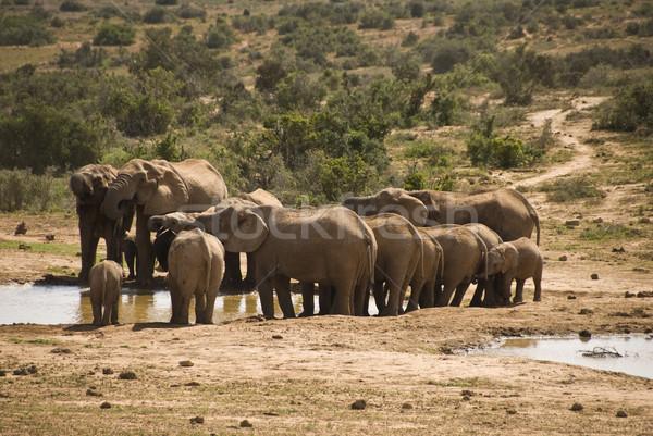 Elefante rebanho água buraco água potável família Foto stock © tish1