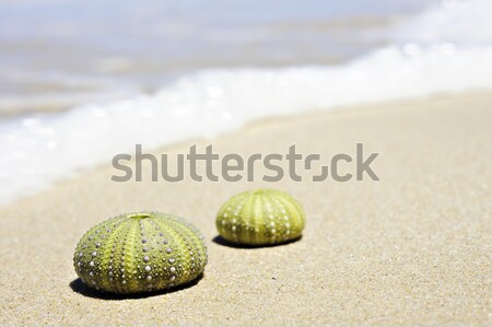 Stock photo: Sea urchin shells with the calves of someone walking on the beach in the background