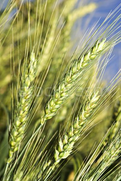 Verde campo de trigo colheita fresco céu natureza Foto stock © tish1