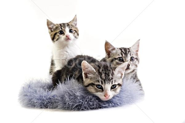 çok güzel küçük kedi yavruları ev bebek portre Stok fotoğraf © tish1