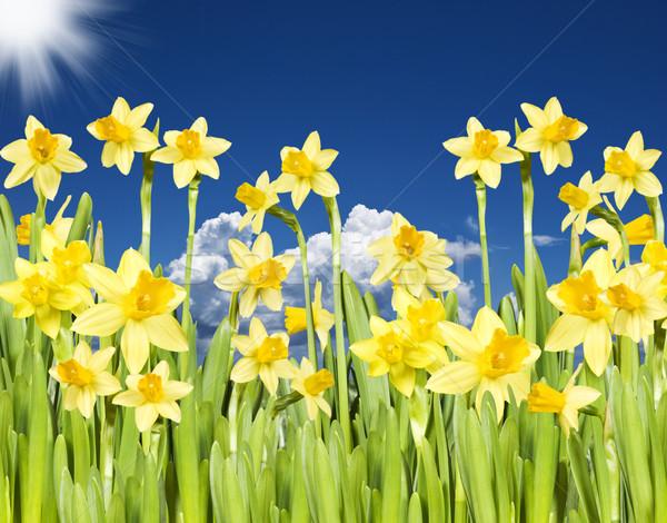 Amarelo narcisos blue sky sol flor nuvens Foto stock © tish1