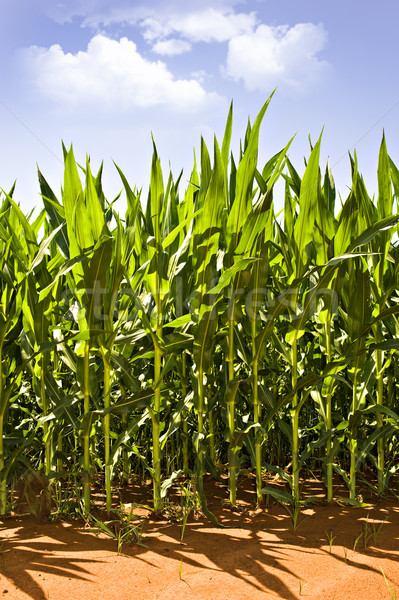 Beautiful green maize growing on the field Stock photo © tish1