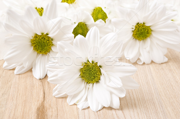 Biały chryzantema płytki dziedzinie kwiat wiosną Zdjęcia stock © tish1