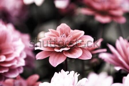 Dalya çiçekler güzel pembe kırmızı Stok fotoğraf © tito