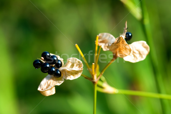 Zaad plant onkruid boom mooie natuurlijke Stockfoto © tito