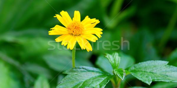 Yellow marguerite Stock photo © tito
