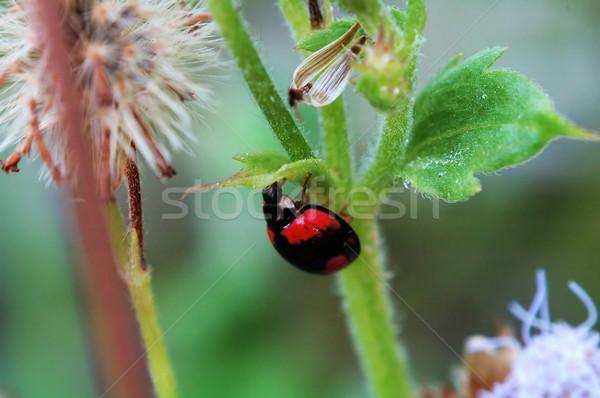 Lieveheersbeestje verbergen klein blad ontsnappen mijn Stockfoto © tito