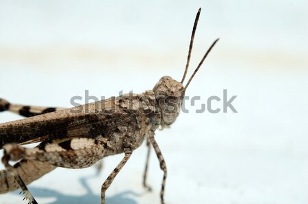 Grasshopper over white background Stock photo © tito