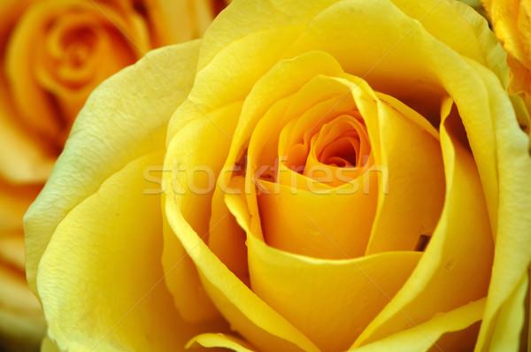 Amarillo rosas aumentó jardín fondo Foto stock © tito