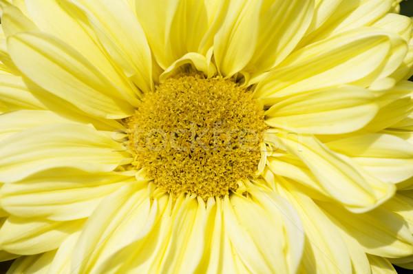 Dalia kwiat centrum żółty piękna Zdjęcia stock © tito