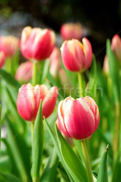 Rood tulp bloemen meervoudig roze Stockfoto © tito