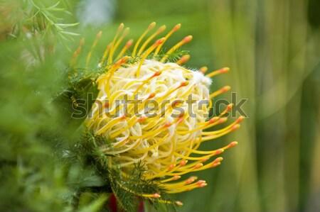 Yellow blooming protea pincushion Stock photo © tito