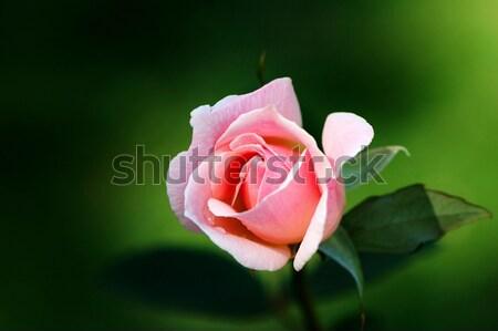 Sentimiento pureza flor jardín Foto stock © tito