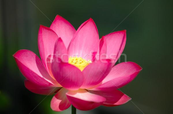 Rosa color oscuro flor Foto stock © tito
