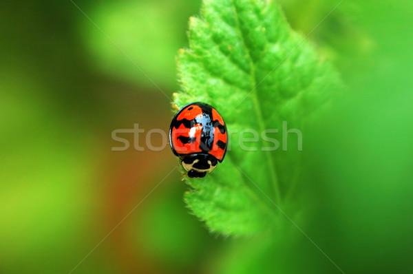 Lieveheersbeestje blad klein voorjaar achtergrond Stockfoto © tito