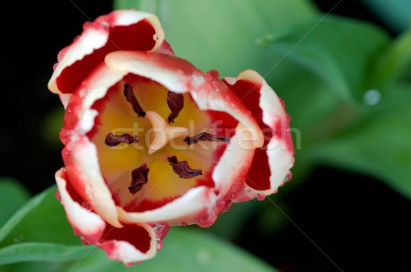 Tulp bloem detail Rood Stockfoto © tito