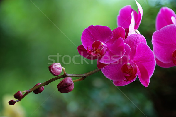 Rosa orquídeas tiro flor jardín Foto stock © tito