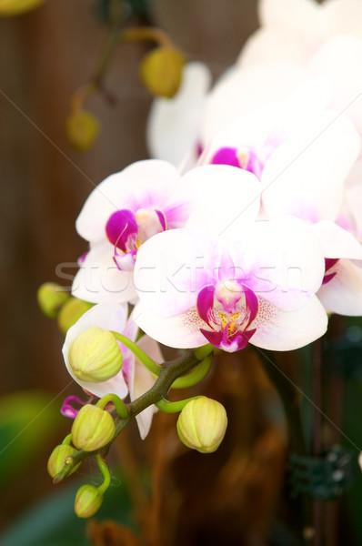 Witte dame pantoffel orchidee voorjaar bloem Stockfoto © tito