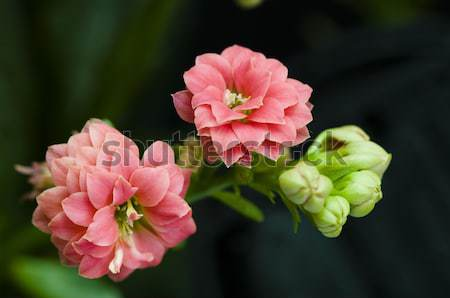 Bush bloemen bloem blad tuin Stockfoto © tito