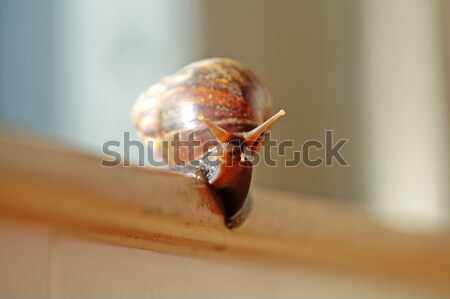 A slithered snail Stock photo © tito