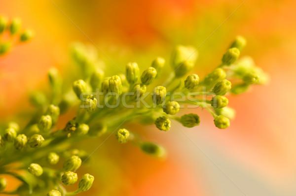 Yellow floret Stock photo © tito