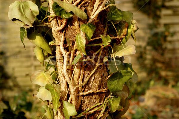 ストックフォト: 枯れ木 · 登山 · アップ · 死んだ · リンゴの木 · 森林