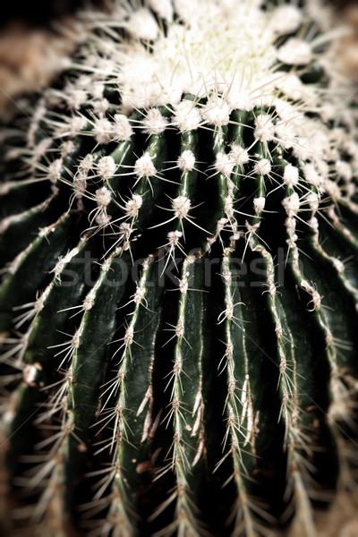 Cactus désert usine vert succulent botanique Photo stock © tlorna