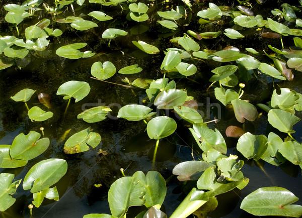 Water hyacint textuur zon abstract natuur Stockfoto © tmainiero