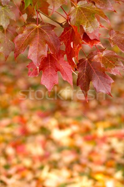 Sonbahar akçaağaç yaprakları asılı ağaç güzel Stok fotoğraf © tmainiero