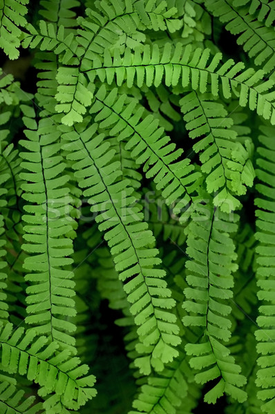 Maidenhair Fern Stock photo © tmainiero