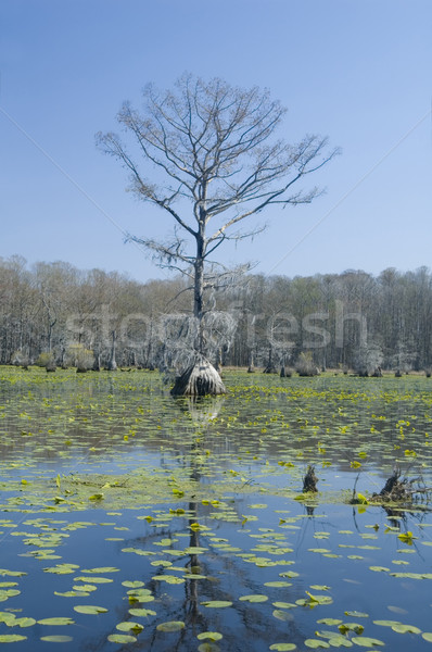 Cypress Tree and Lily Pads Stock photo © tmainiero