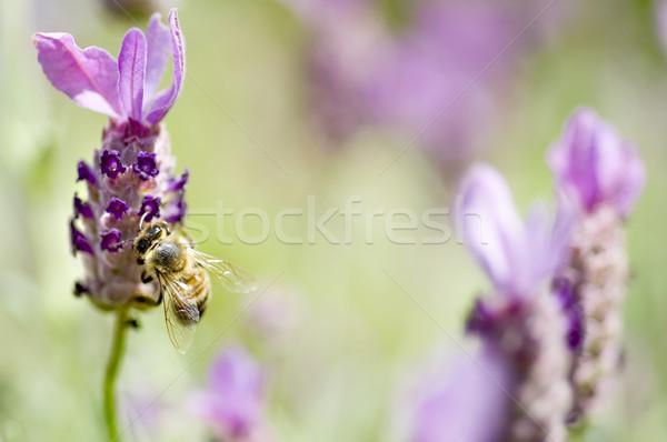 Abeille lavande français fleurs printemps herbe Photo stock © tmainiero