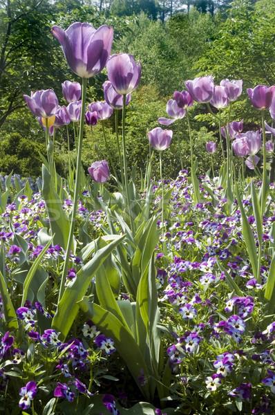 Tulipes tulipe domaine Pâques printemps mère Photo stock © tmainiero